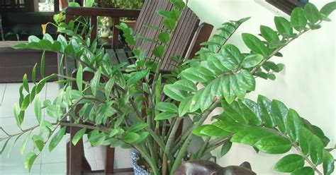 zz plant poisonous zestzfulness is the zz plant zamioculcas zamiifolia poisonous