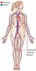 How The Heart  U0026 Blood Vessels Work