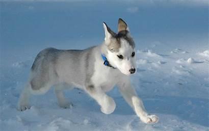 Puppies Siberian Huskies Wallpapers Husky Puppy Background