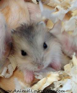 Cute Grey Baby Hamster Close Up | Our baby dwarf Hamster ...