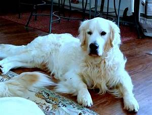 2017 appealing english golden retriever puppies near me With cheap dog kennels for sale near me