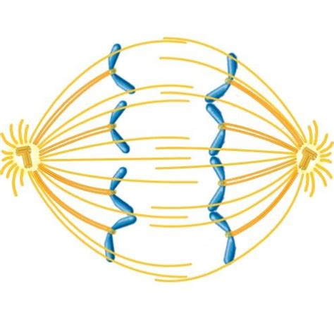 Metaphase 2 Diagram by Solved Consider The Following Diagram Which Depicts A Par