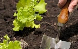 Repiquer Des Oignons : salades et laitues entretien origine culture gamm vert ~ Voncanada.com Idées de Décoration