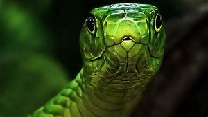Green snake head wallpapers and images - wallpapers