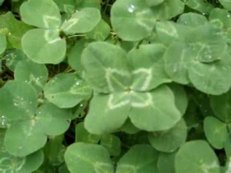 four leaf clover plant for sale how to find a four leaf clover youtube