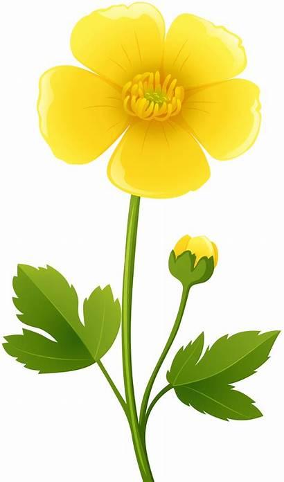 Flower Transparent Yellow Clipart Flowers Clip Buttercup