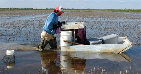 Used Crawfish Boats For Sale In Louisiana by Push Boats Help Crawfish Farmer Cut Costs