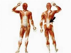 Muscles Of The Body Diagram Without Labels