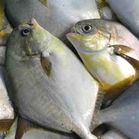 jual beli ikan bawal konsumsi harga termurah dan