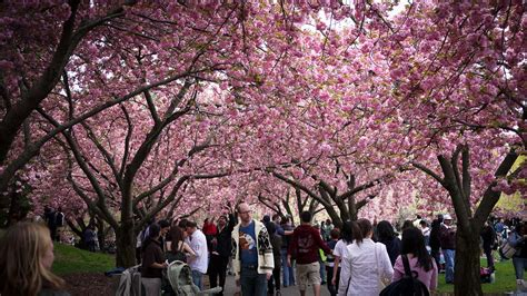 botanical garden cherry blossom 11 places to view cherry blossom trees in nyc untapped