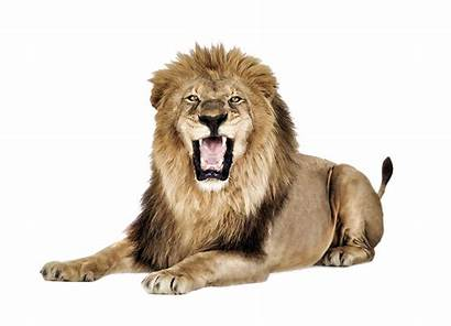 Lion Roaring Transparent