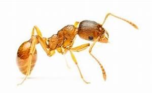 Pharaoh Ants | Batzner Pest Control