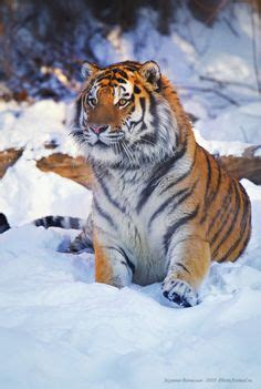 Close Siberian Tiger Laying Snow Tom Pat