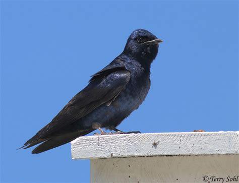 purple martin south dakota birds and birding