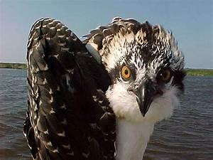 free picture osprey bird up pandion haliaetus