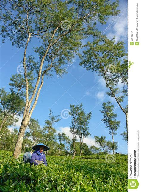 female farmer harvesting tea leaves  tree editorial