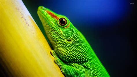 Green Animal Wallpaper - green lizard wallpaper animal wallpapers 28862