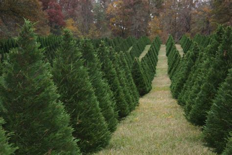 holiday tree farm caes newswire tree