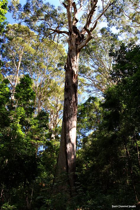 tree   bird tree eucalyptus pilularis blackbut