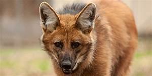 Maned wolf   Smithsonian's National Zoo