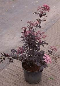 Holunder Black Beauty Essbar : schwarzer holunder black beauty sambucus nigra black ~ Michelbontemps.com Haus und Dekorationen