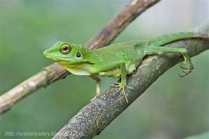 Green crested lizard - FM Forums
