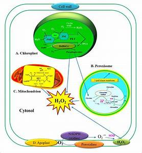 Production Of Hydrogen Peroxide  H 2 O 2   In Plant Cells