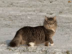 largest house cat the top 8 largest domestic cat breeds pets4homes
