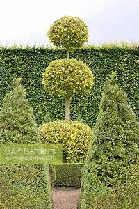Ilex Golden King : gap gardens ilex aquifolium 39 golden king 39 clipped into sphere shapes with buxus obelisks in ~ Frokenaadalensverden.com Haus und Dekorationen