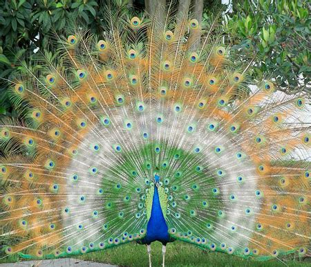 Indian Animals Wallpaper - indian peacock birds animals background wallpapers on