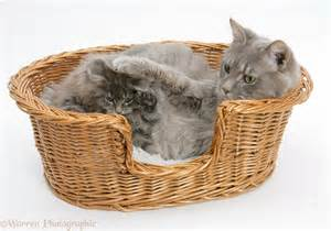 cat basket maine coon cat and kitten in a basket photo wp18727