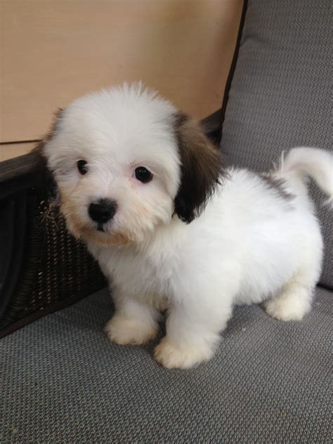 non shedding hypoallergenic dogs non shedding dogs for sale breeds picture