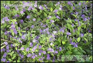 Blau Blühender Bodendecker : enzianbaum blau bl hender strauch neues bild foto ~ Frokenaadalensverden.com Haus und Dekorationen