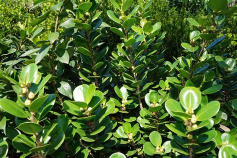 Buy Ficus microcarpa 'Green Island', Sydney
