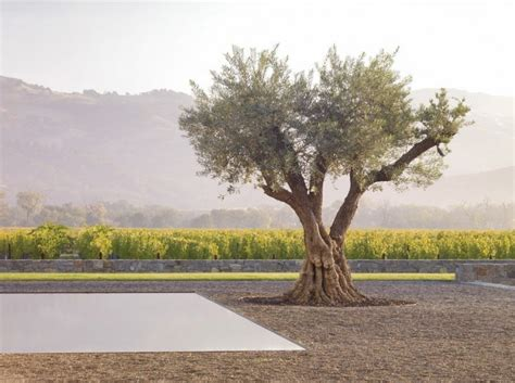 california olive trees 10 garden ideas to steal from california gardenista