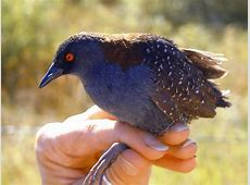The Elusive Black Rail May Adapt Better Than You'd Think