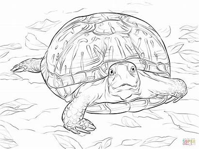 Turtle Realistic Coloring Pages Box Turtles Ornate