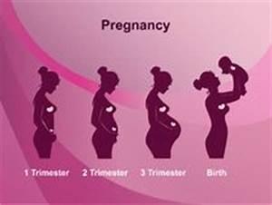 Schwangerschaft 3 Trimester : schwangerschaft trimester entwicklungsstufen stock abbildung illustration von gezeichnet ~ Frokenaadalensverden.com Haus und Dekorationen
