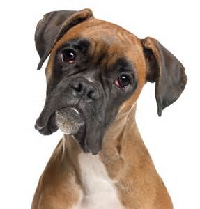 Terre De Boxer 64 by No 8 Boxer 2014 S Most Popular Dog Breeds In The U S