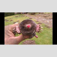 Mole Catcher Dorking  Mole Control Youtube