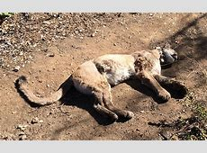 Deaths of Young Mountain Lions Illustrate Challenges to