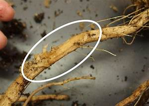 Ipm Issues And Vegetable Crops In 2017      Missouri Produce