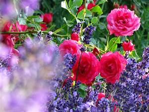 Rosen Und Lavendel : impression von rosen und lavendel bild foto von harald ulrich blecke aus rosen fotografie ~ Yasmunasinghe.com Haus und Dekorationen