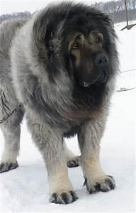 Caucasian Shepherd Dog, Caucasian Sheepdog Pictures, 3 ...