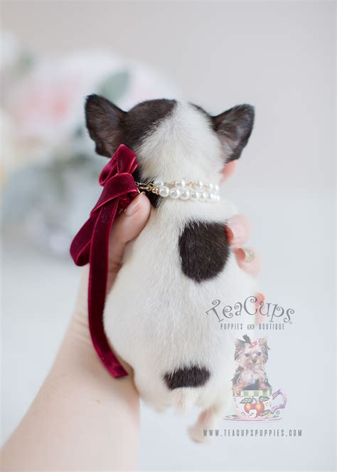 tiny french bulldog puppies teacup puppies boutique