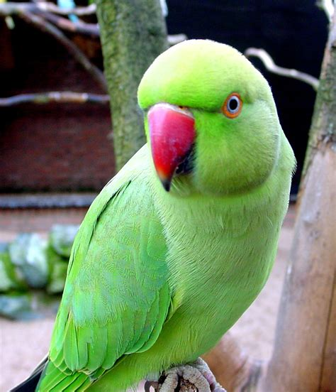 Desktop Wallpaper Green Parrot #h620009  Animals Hd Images