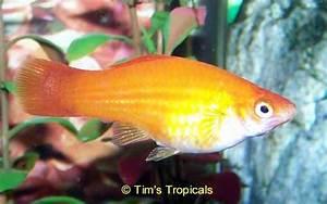 Swordtail | Tim's Tropical Fish