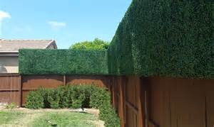 Cannabis Marijuana for Privacy Fence