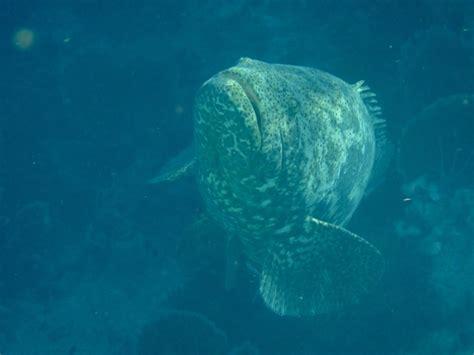 baby grouper goliath
