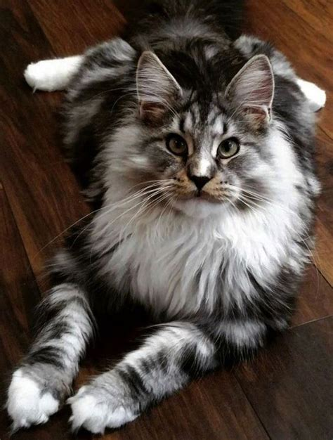 names  long haired cats  paws